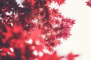 Canada feuilles d'érables